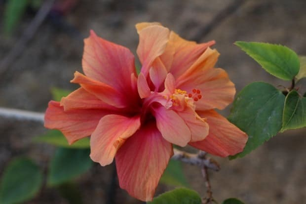 hibiscus flower in bloom not dried for Hibiscus Margaritas