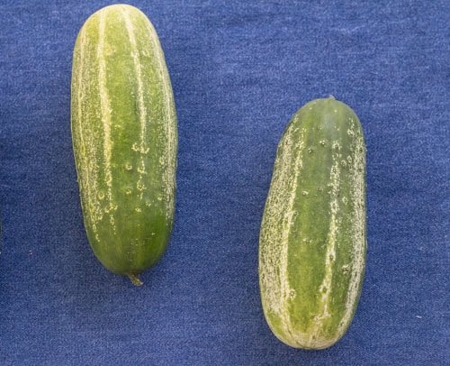 2 cucumbers on blue background