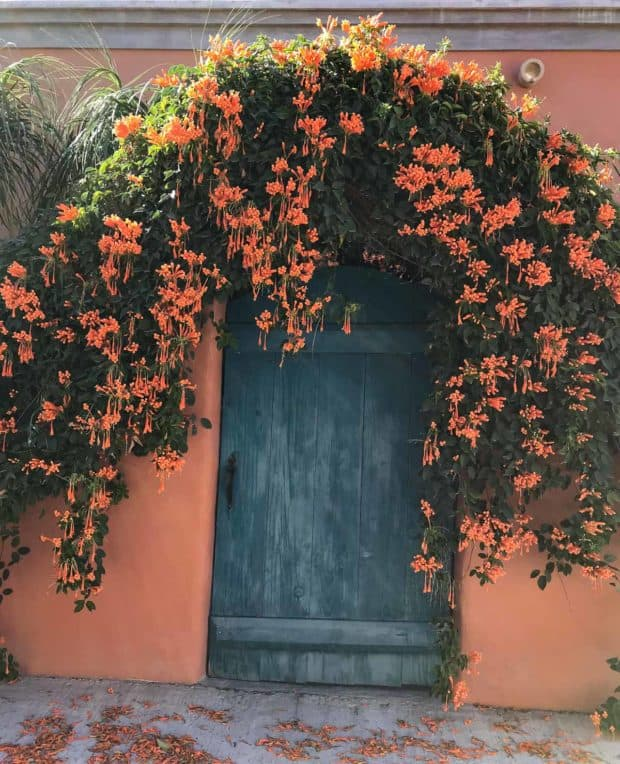 Orange flowers above and around blue door in Baja Mexico.